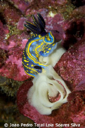 Hypselodoris cantabrica laying eggs.